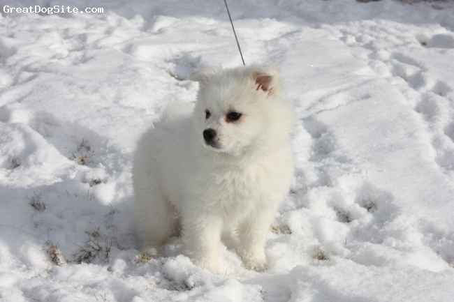 American Eskimo Dog, 3 months, white, Its a dog, its a baby polar bear ...