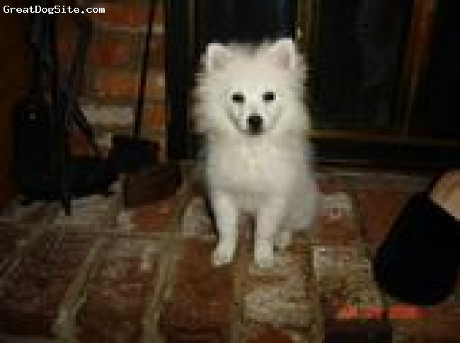 American Eskimo Dog, 3, white, I am absolutely in love with my toy American Eskimo! He is the sweetest most caring dog and has more personality than any dog I've had.