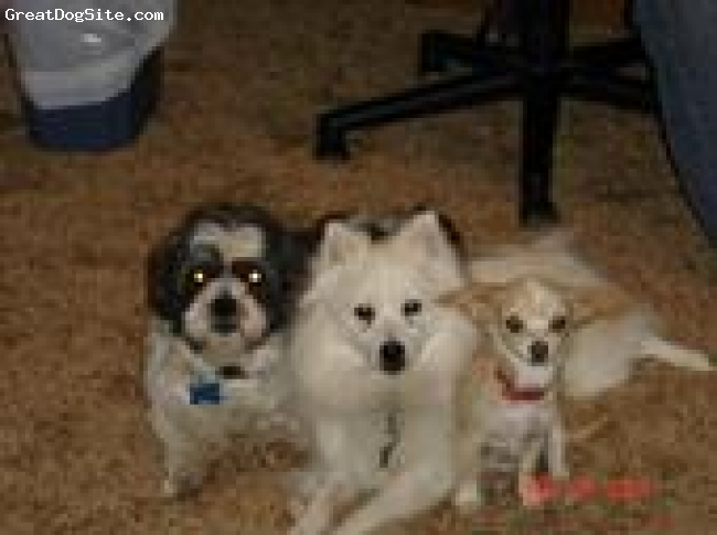 American Eskimo Dog, 3, white, he gets along well with other dogs