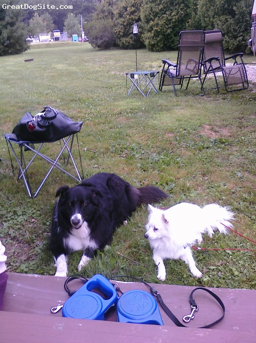 American Eskimo Dog, 1.8yr, white, camping with my best buddy Chance border collie she's 6 we love to camp and watch all the other people and pets walk by