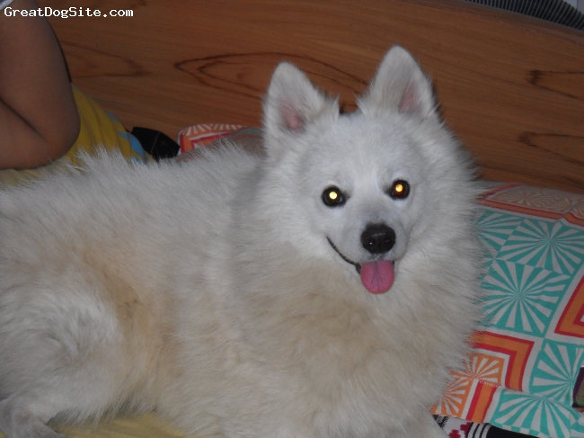 American Eskimo Dog, 3 &1/2 yrs Male, White with slight biscuit  fur in the back, Some one to trust.