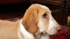 American Foxhound, 7 m., White + Yellow
