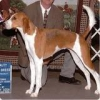 American Foxhound, 3, Red & White