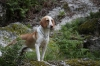 American Foxhound, 1, Yellow and White