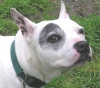 American French Bull Terrier