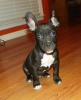 American French Bull Terrier, 10 weeks, Black/White