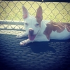 American French Bull Terrier, 5 months, Fawn/White