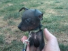 American Hairless Terrier, 10 weeks, Black
