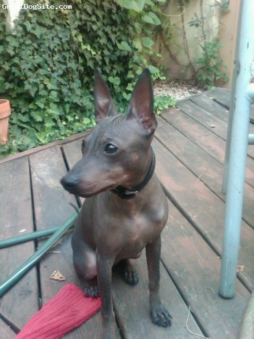 American Hairless Terrier, 5 months, black, Mamie's a beauty!