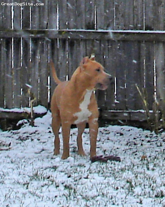 American Pit Bull Terrier, 9 months, blue fawn, Tank is a very well bred male.  He has heavy Watchdog bloodlines.  He is Watchdog/Cady.  Some of his ancestors include Pure Blue Purdee, Ruff and Ready, Debo, Blue Diesel, 187 Homicidal Roughneck, Blue Bruiser, Beezlebub and many more!