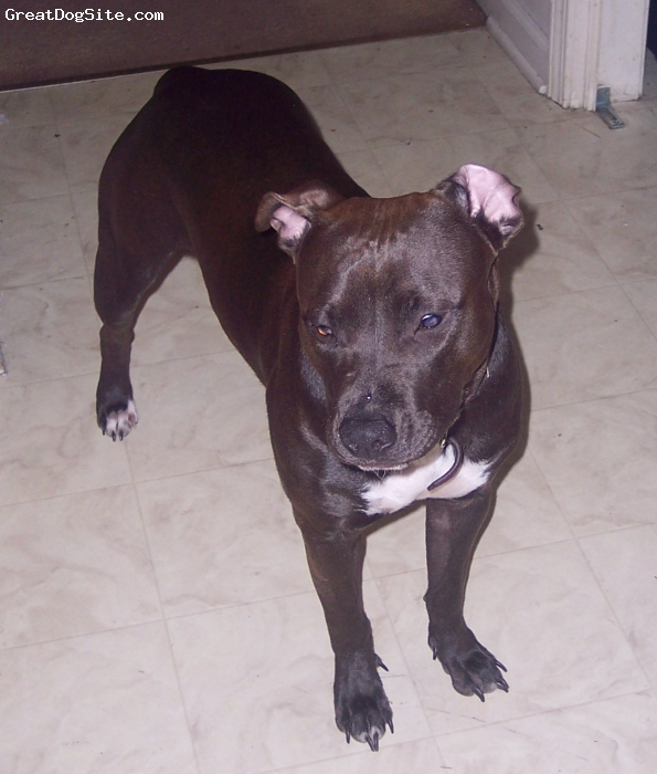 American Pit Bull Terrier, 9 months, choclate, She's our baby. Very good natured. Our family loves her to death!