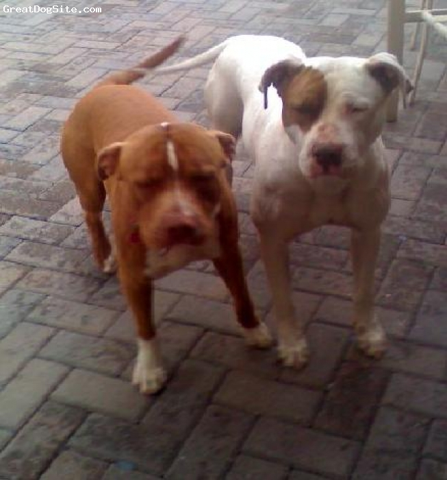 American Pit Bull Terrier, 1 year - 2 1/2 years old, Chocolate and White, I'm waitinq for the male on the riqht to qrow a LITTLE more and we'll have some puppies.