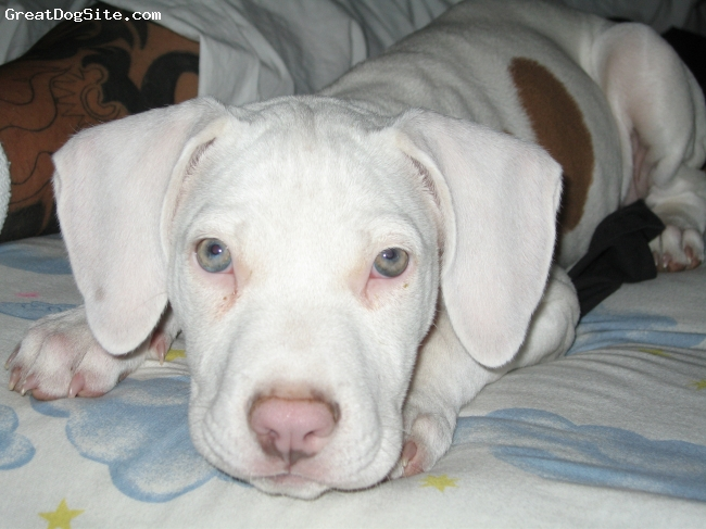 American Pit Bull Terrier, 3 Months, White with Brown Spots, This is a picture of our little baby when she was just 3 months old, she's now 3 years old, but this is one of my favorite pictures of her.