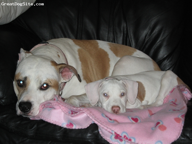 American Pit Bull Terrier, 6 years and 3 months, White with Brown Spots, Here we have Damian and her adoptive daughter Bailey. These two are like peas in a pod.