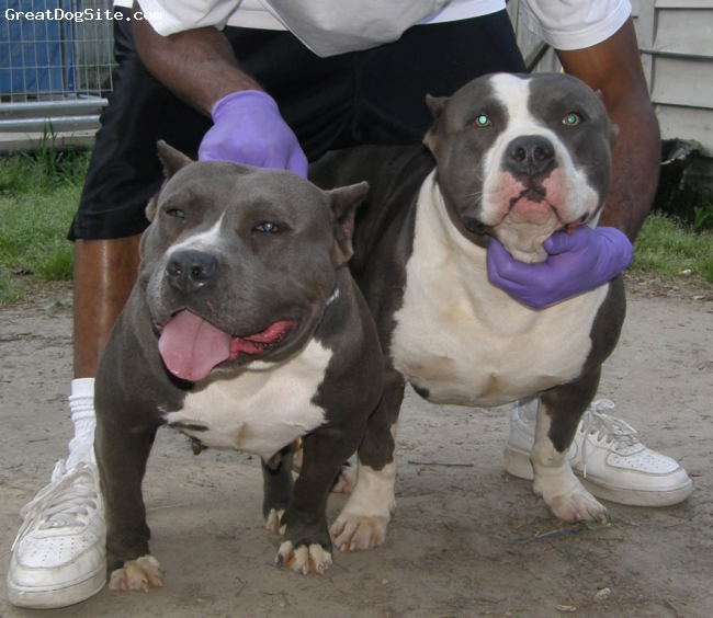 American Pit Bull Terrier, One mounth, Black, Ineed any dog pitt bull