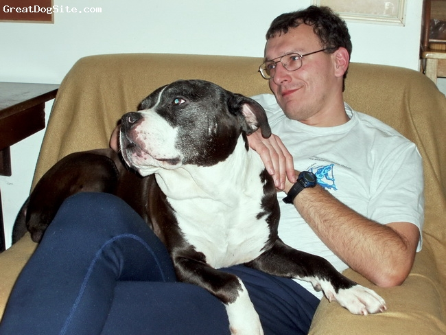 American Pit Bull Terrier, 13, black&white, muscular, extremly gently, family devoted, friendly with small dogs