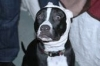 American Staffordshire Terrier, 1 year, black and white
