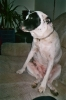 American Staffordshire Terrier, 9, White & Black