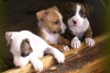 American Staffordshire Terrier, 2week, a parti-coloured