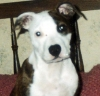 American Staffordshire Terrier, 1year, pied