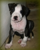 American Staffordshire Terrier, 2 mo, piednth