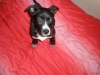 American Staffordshire Terrier, 3 months, black and white
