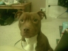 American Staffordshire Terrier, 17 months, red,
