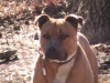 American Staffordshire Terrier, 18mths, fawn-white