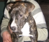 American Staffordshire Terrier, 7 moonth, black