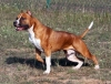 American Staffordshire Terrier, 3, brown&white