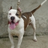 American Staffordshire Terrier, 10 months, brown and white