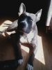 American Staffordshire Terrier, 2 years, Blue