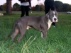 American Staffordshire Terrier, 7 months, blue
