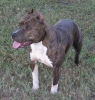 American Staffordshire Terrier, 8, Brindle