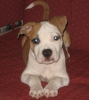 American Staffordshire Terrier, 11 weeks, Red and White
