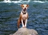 American Staffordshire Terrier, 3, red