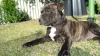 American Staffordshire Terrier, 3mths, Brindle