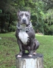American Staffordshire Terrier, 1.5, BLUE