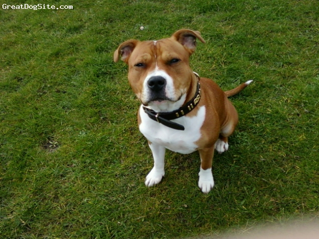American Staffordshire Terrier, 18 months, red and white, fun and full of beans, she is a great pet and very obedient . great with kids of ourse