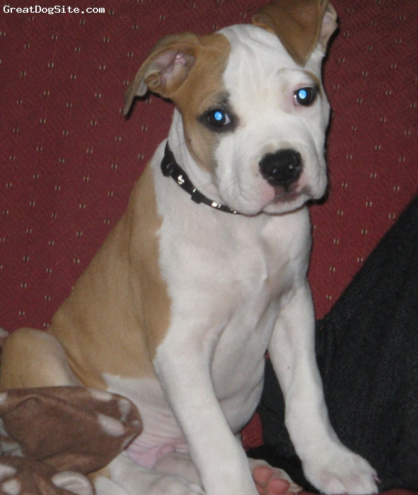 American Staffordshire Terrier, 11 weeks, Red and White, Pedigree Amstaff puppy, champion parents US and Aus