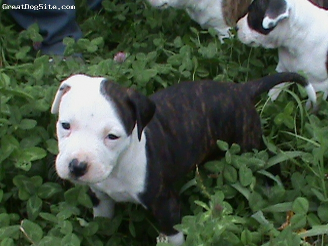 American Staffordshire Terrier, 6 weeks, black brindle w/ white, missy frolicing outside.