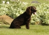 American Water Spaniel, 7 years old, Chocolate
