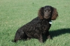American Water Spaniel, 2 years old, Chocolate