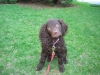 American Water Spaniel, 4 months, Chocolate