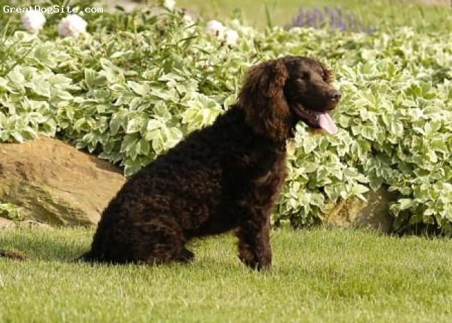 American Water Spaniel, 7 years old, Chocolate, Pivo is one of our favorite dogs ever. He is simply a sweet dog that loves doing what he does best; hunting.