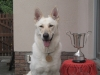 American White Shepherd, 5 and a half years, White/cream