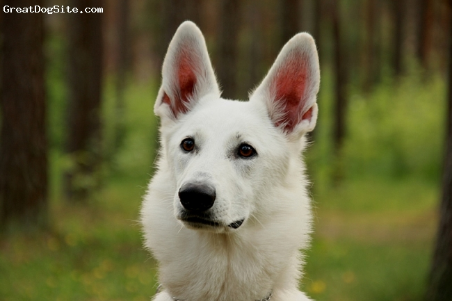 American White Shepherd, 18 month, White, Absolutelybest dog in the world! specifically in Europe and very certainly in Estonia