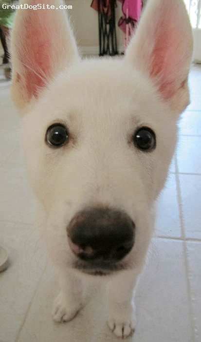 American White Shepherd, 2 1/2 MONTHS, WHITE, MAX WANT A CLOSE UP SHOT