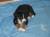Appenzell Mountain Dog, 5weeks, Tri
