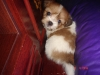 Auss-Tzu, 1 month, white & brown